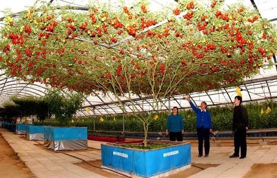 ALBERO GIGANTE DI POMODORO - TOMATO GIANT TREE, 10 SEMI A PREZZO SPECIALE