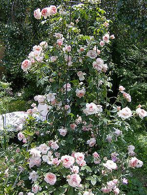 Climbing Colette Rose
