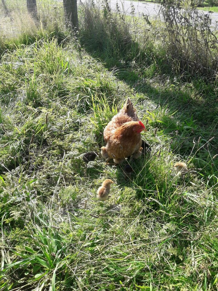 Kyllinger, 9 stk.