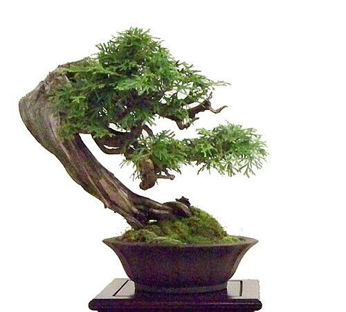 Port Orford Cedar Tree 25 Seeds Evergreen Tree Bonsai For Sale Online