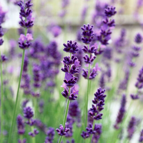 Flower//Plant//Herb Lavender Fragrant Lavandula Angustifolia Vera 300 Seeds