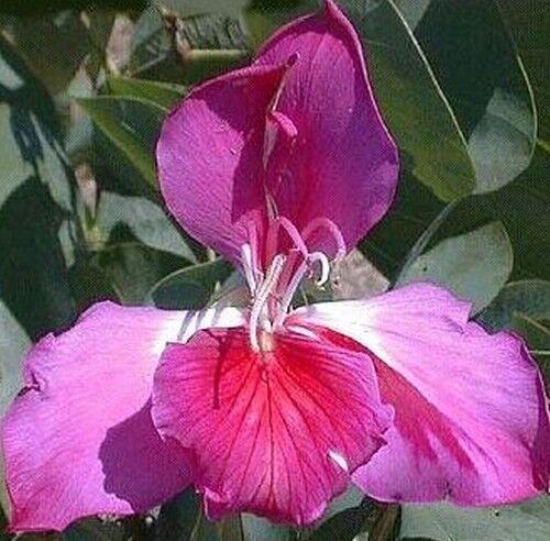 Schmetterlingsflügelchen der purpurne Orchideenbaum !