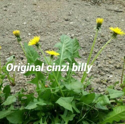 300 semi tarassaco dente di leone taraxacum officinale dandelion semi italiani