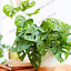 Palm-Turtle-Plants-Tree-Monstera-Ceriman-Bonsai-Home-Courtyard-100-PCS-Seeds-NEW thumbnail 2