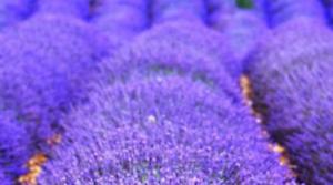 Lavandula angustifolia 1.100 semillas  frescas Lavanda Espliego