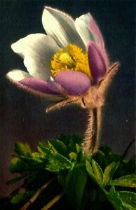 ALPINE PASQUE FLOWER , VINTAGE CARD, circa 1960