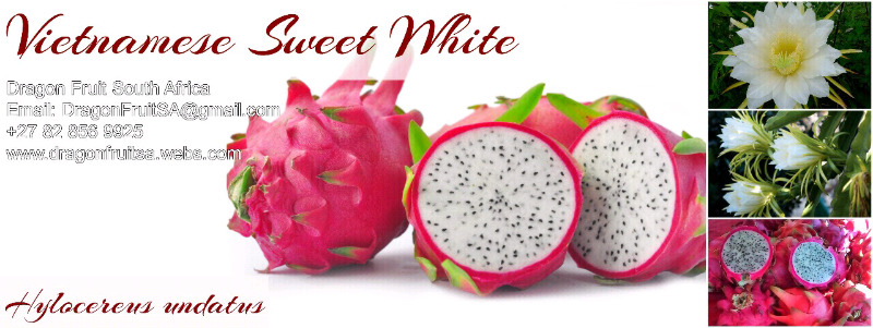 3 x Plants Sweet White Flesh Pitaya Dragon Fruit Plants for Sale | Other |  Gumtree Classifieds South Africa | 199454093