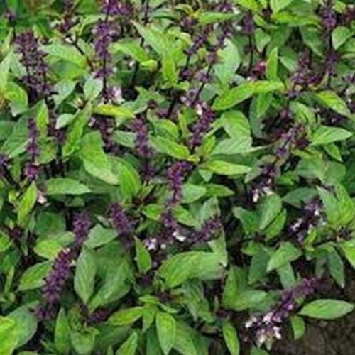 Licorice BOGO 50/% off SALE 100 Seeds Basil