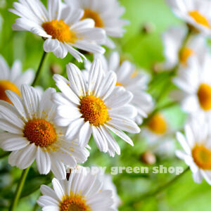 Herb German Chamomile Matricaria Recuita Mayweed 20