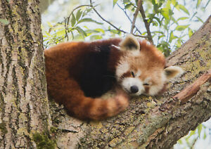 A1-Red-Panda-Poster-Print-Size-60-x-90cm-Wild-Animal-Poster-Gift-14217