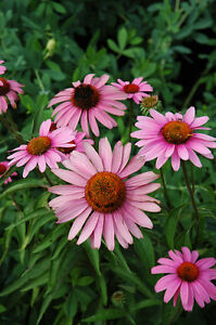 Vivace Fleur Echinacea Pourpre Bravado 40 Graines De Fleurs Ebay