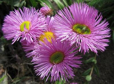 Seaside Daisy, Erigeron Speciosus Pink Jewel x50 seeds F0432