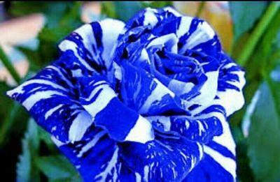 """Tribute Geschenk, Ein Kunststoffkoffer Ist FüR Die Sichere Lagerung Kompartimentiert Aktiv """"35 Rose Rosen Samen Blue Dragon Seeds Gothic Gardenin."""""""