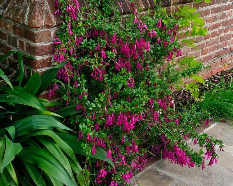 Vesalea floribunda (Amazing plant     ) N°2