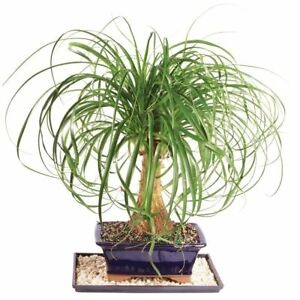 abe4be960d7 Ponytail Palm Bonsai Tree Home Or Office Indoor Live Plant 7 Years ...