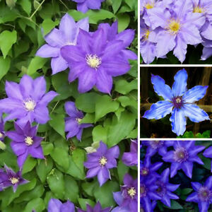 3-X-CLEMATIS-BLUE-PURPLE-COLOURED-LARGE-FLOWERING-CLIMBER-HARDY-PLANT-IN-POT