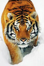 TIGER IN SNOW - ART POSTER 24x36 - NATURE WILDLIFE 5526