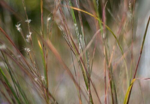 300 Ornamental LITTLE BLUESTEM GRASS Schizachyrium Seeds Gift /& Flat Shipping