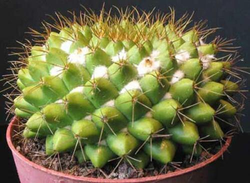 Mammillaria Marksiana 15 Seeds Cactus Cacti