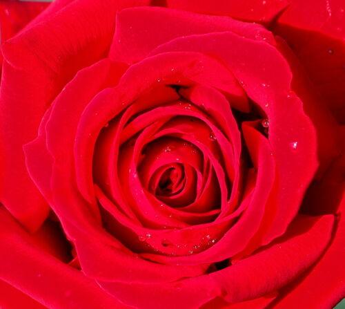 Rosa /'Ingrid Bergmann/' ® Rose Edelrose Teehybride Güteklasse A im Container