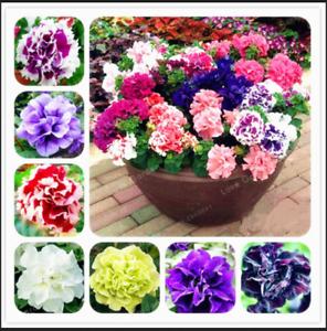 Double-petales-100-Pcs-Graines-PETUNIA-Bonsai-Fleurs-Court-hauteur-plantes-de-jardin-N