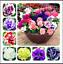 Double-petales-100-Pcs-Graines-PETUNIA-Bonsai-Fleurs-Court-hauteur-plantes-de-jardin-N miniature 1