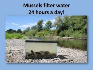 25-Live-Freshwater-Mussels-Clams-Natural-filter-for-Live-Fish-Aquariums