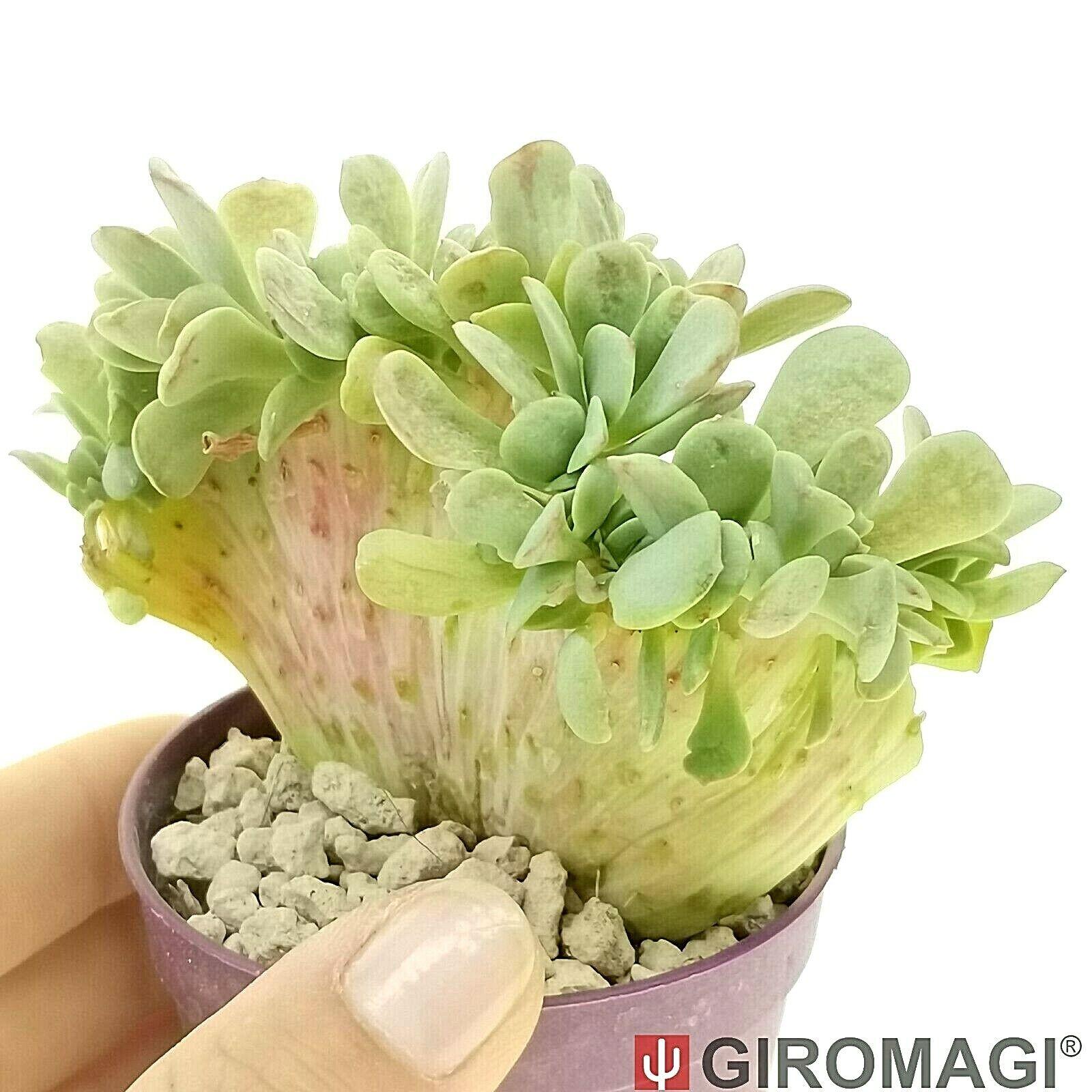 Echeveria 'Swirl' f. crested エケベリア POTØ6,5cm - GIROMAGI Cactus & Succulents