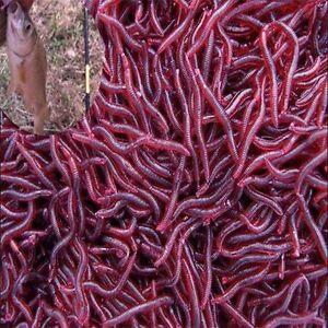 50PCS Red Earthworm Soft Worm Fishing Lures Bait Hooks Baits Tackle Crankbaits