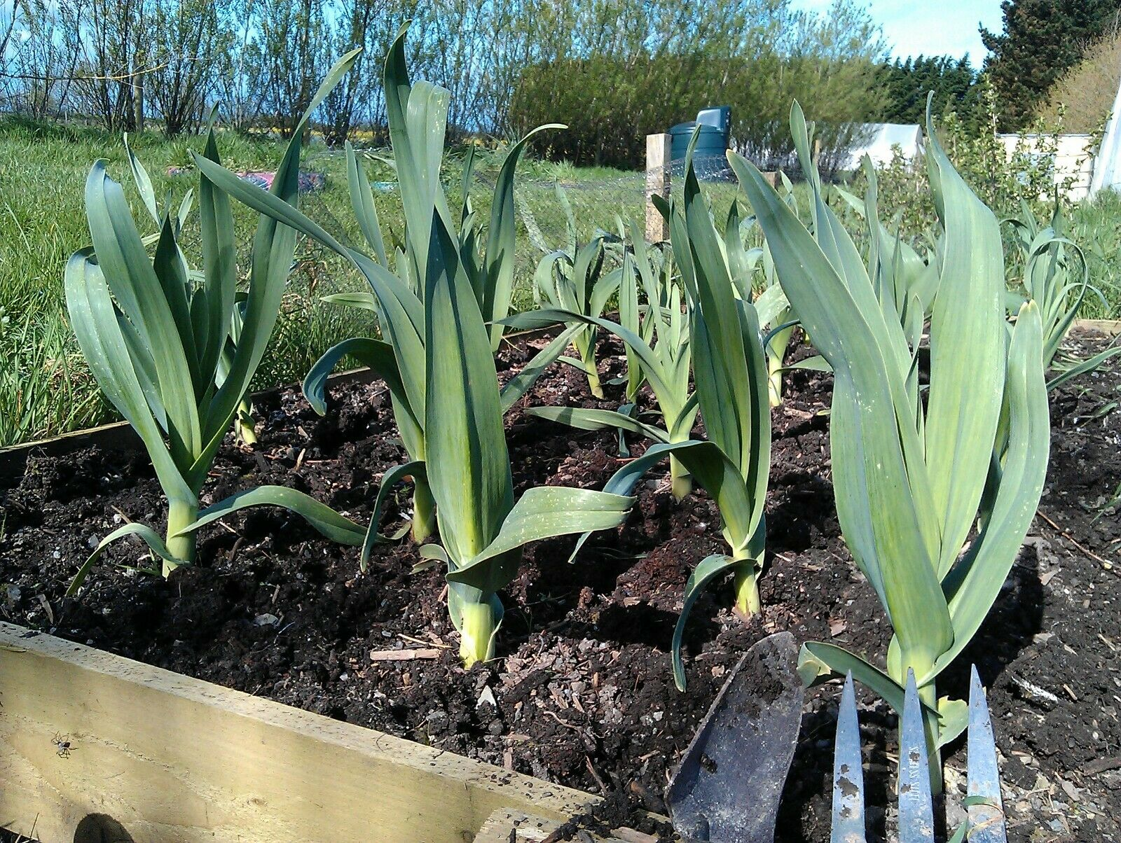 Elephant Garlic Seeds/Corms Naturally Grown 05 seeds/With Easy Growing Method