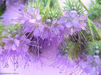 2000 Samen Bienenweide - Phacelia Tanacetifolia Büschelschön Rainfarn-phazelie Mangelware