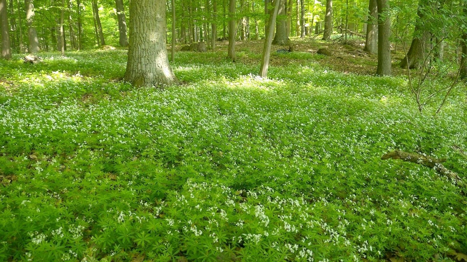 Sweet woodruff galium lush green groundcover white flowers plants slowly creep to form a complete ground cover even in the driest and most poor soils and even in acidic soils under evergreen trees mightylinksfo