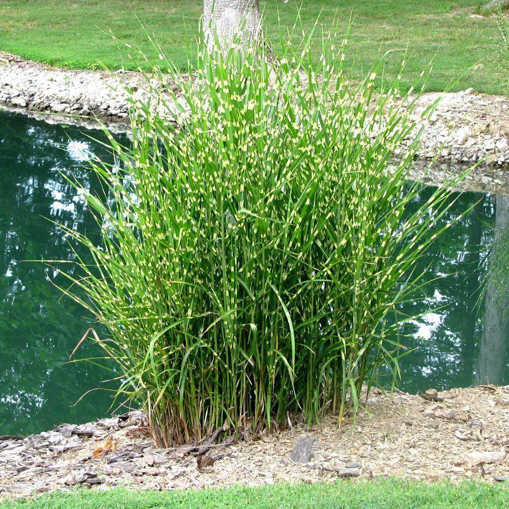 Miscanthus sinensis 'Strictus' Porcupine Grass 10 seeds