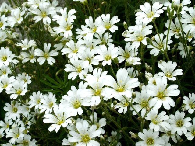 1500 SNOW IN SUMMER Cerastium Ground Cover Flower Seeds
