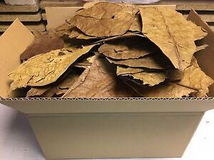 Seemandelbaumblaetter-0-7-Kg-B-Ware-Catappa-Leaves-Wasseraufbereitung-Ketapang