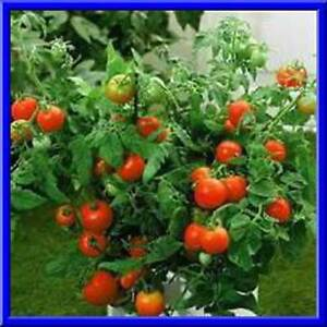 Bush Beefsteak Tomato Seeds Loads Of Fruit On Compact