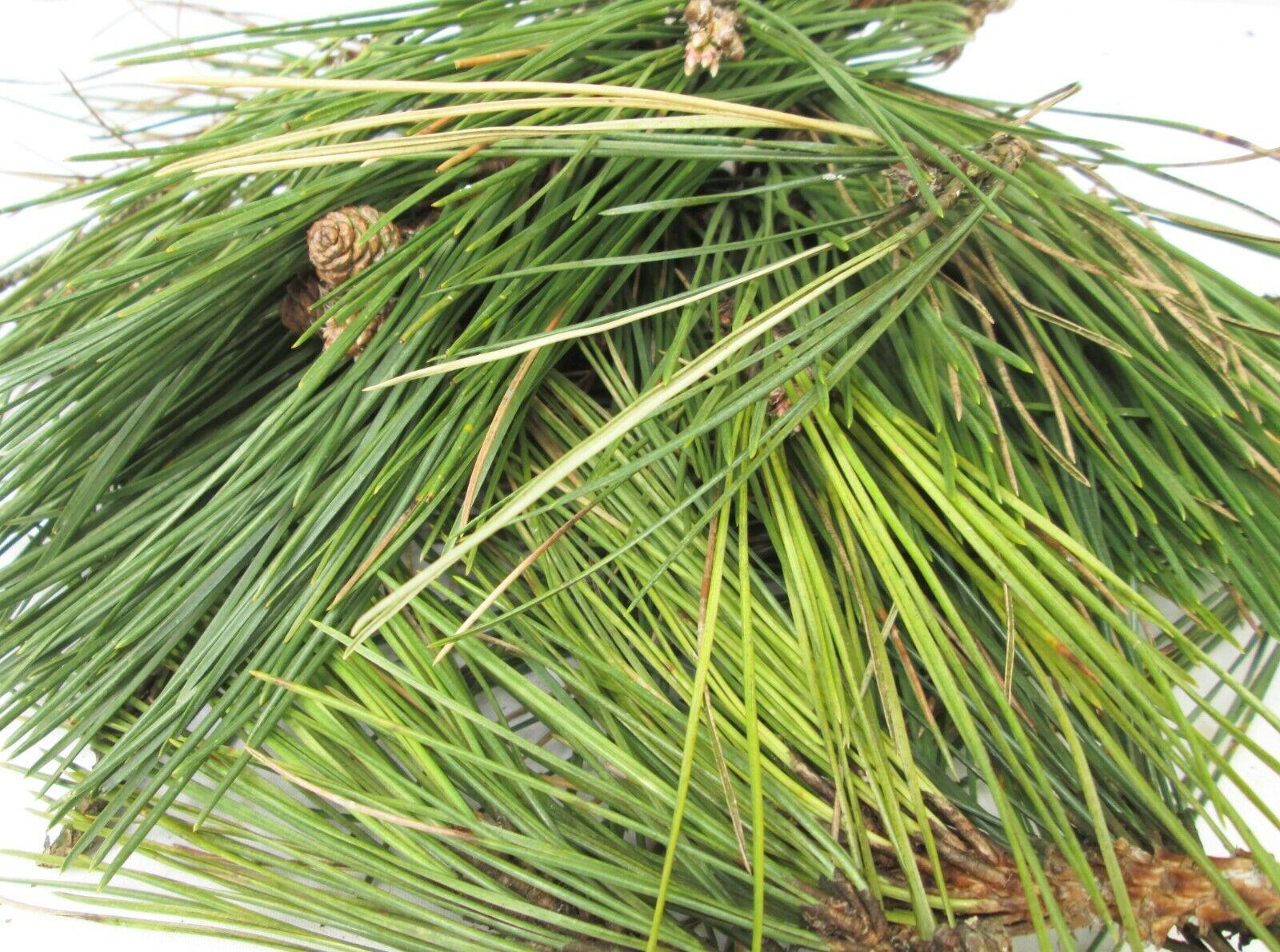 Fresh Organic Scots Scotch Pine Pinus Sylvestris Needles 200g 4L