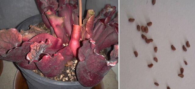 Semi (10) di Sarracenia purpurea ssp. venosa + guida