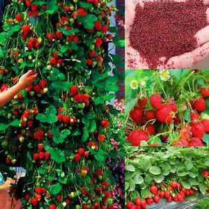 100Pcs-Seeds-Rot-Klettern-Strawberry-Seeds-Obst-Pflanzen-Hausgarten-Samen-G7C6
