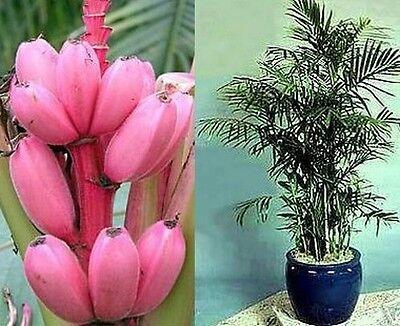 schöne rosa Bananen-Palme fürs Wohnzimmer auch die Bananen sind rosa !
