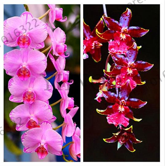 Green Rare Cymbidium Orchid Plant African Cymbidiums Flores 100 pcs Seeds