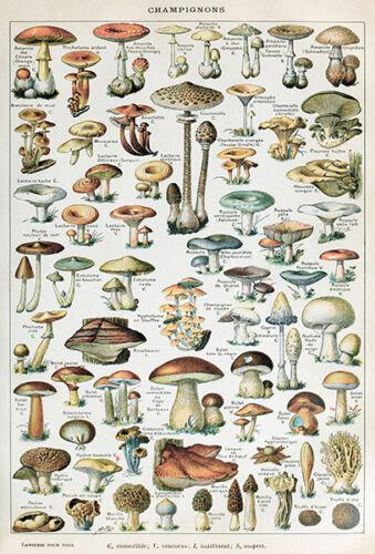 Illustration Poster Champignons Chart #2-1909 Mushroom
