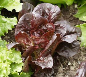 Super-Red-Romaine-Lettuce-Seeds-500-1000-2000-5000-Bulk-Heirloom-crispy