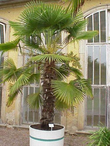 18c Nice Schwimmbad Lot 5 Palmen 25//30 cm Trachycarpus Fortunei Mühle Rustikal
