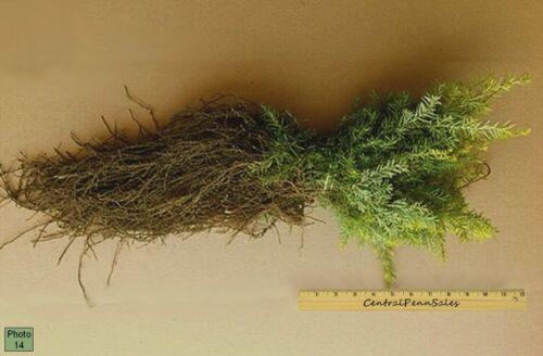 """Eastern Hemlock Seedlings 12 8/""""-12/"""" Trees"""