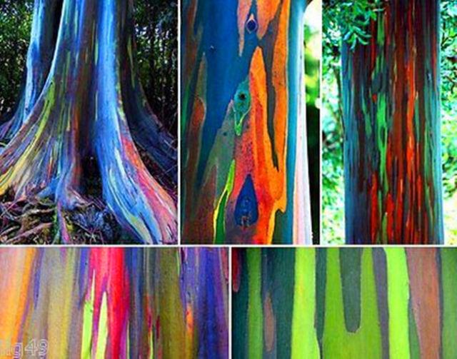 Rainbow Eucalyptus - 500 Viable seeds - Beautiful rare tree Eucalyptus deglupta