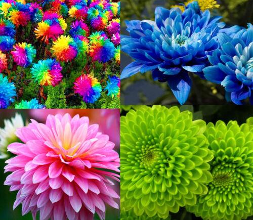 200Pcs Rainbow Chrysanthemum Flower Seeds Rare Bonsai Perennial in Home Garden