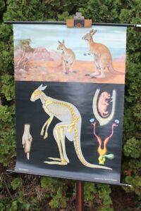 Carte-a-Rouler-Schulwandkarte-Murale-Riesenkanguruh-Schulkarte-Tableau