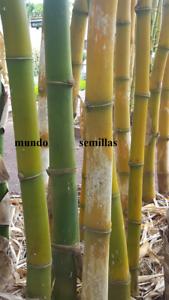 GRANDE del MUNDO dendrocalamus 42 Semillas Seed BAMBU