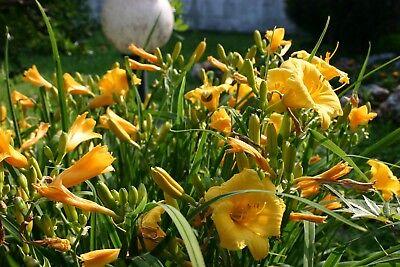 10 Bulbi Piante / Rizomi Hemerocallis Stella De Oro Bulbi Emerocallis Fiori